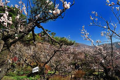 不老園 梅の名所 梅園 山梨県観光 開花情報 おすすめスポット 富士見橋